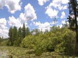 Travel Thru Everglades; Lily Pads, Open Swamp, Cypress Trees Etc On Peat Islands B/G, Blue Sky, Fluffy Clouds