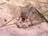 Velvet Ant Burrowing Into Sand