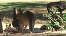 Eastern Grey Kangaroo Group Resting In Shade Of Large Tree, Tilt Up To Other Kangaroo Hopping In Background