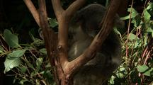 Koala Sitting In Fork Of Gum Tree, Scratches Vigorously, Stretches Out Hind Legs