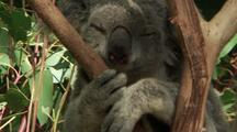 Koala Sitting In Fork Of Gum Tree, Face, Asleep, Paw