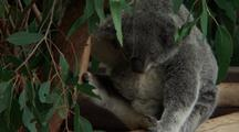 Koala Sitting In Fork Of Gum Tree, Face, Bcu Nose