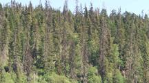 Spruce Forest Some Trees Damaged By Spruce Bark Beetle
