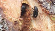 Ms Pair Of Spruce Bark Beetles In Exposed Gallery, 1 Starts Climbing Away