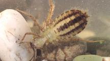 Dragonfly Larva On Bottom Of Pond