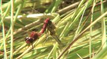 Pair Of Dragonflies Mating