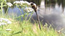 Dragonfly On Umbell Flower