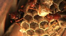 Paper Wasps Tending Nest