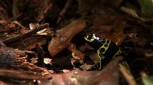 Forest Floor Litter, Yellow And Black Poison Arrow Frog At Rest Side On. Z/I Frog, Jumps Several Times Pan L Following, Z/I