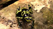 Yellow And Black Poison Arrow Frog Facing Cam On Log, Z/O, Z/I Frog Moves R