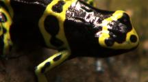 Profile Front Section Yellow And Black Poison Arrow Frog, Moves Faces Cam Z/O