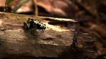 Yellow And Black Poison Arrow Frog On Log Moves Slightly Then Jumps Off Log Exits Frame
