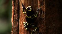 Tilt Up Trunk To Yellow And Black Poison Arrow Frog Stream In B/G, Z/I On Frog, Frog Climbs Further Around Trunk