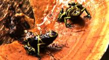 2 Yellow And Black Poison Arrow Frogs On Bracket Fungus. Pan L, Z/I One Frog In Profile, Tilt Up R To Other Facing Cam. Right One Hops Toward Cam Z/O, Lands On Other And Both Hop Off Lyellow And Black Poison Arrow Frog Climbs Up Tree Trunk