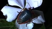 Shieldbug On White Flower, Slowly Turns