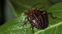 Plantbug On Leaf Turns L