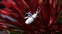 White Weevil Climbs Around On Anthers Of Red Flower