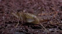 Macro Ms Lava Cricket From Rear