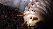 Hercules Beetles Lava Turns Over In Forest Debris.  Various