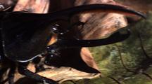 Mcu Tra Hercules Beetle From Top, On Foliage