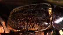 Cu Hercules Beetle Armour