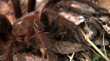 Cu Goliath Bird Eating Spider Leg Hair, Body