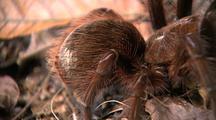 Cu Goliath Bird Eating Spider Legs, Abdomen