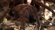 Cu Goliath Bird Eating Spider Front