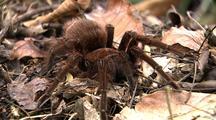 Ms Goliath Bird Eating Spider Rests In Leaf Debris