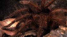 Mcu Goliath Bird Eating Spider Top Shot