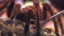 Cu Goliath Bird Eating Spider, Provoked By Human Hand, Tries To Shuffle Away