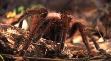 Mcu Goliath Bird Eating Spider Rests On Rock At Sunrise