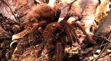 Goliath Bird Eating Spider, Various - Cu, Tra