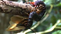 Mcu Giant Centipede Dangling From Log Feeding On Black Headed Cockroach, Cockroach Eggs Being Released