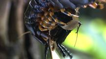 Bcu Giant Centipede Feeding On Blackheaded Cockroach, Tra To Body, Armour Clearly Visible, Then Tra Down To Head Feeding