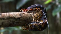 Ms Giant Centipede Hooked Over The End Of Branch Feeding Upside Down