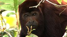 Cu Red Howler Monkey Eating Leaves In A Tree