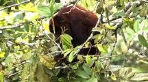 Z/I Mcu Red Howler Monkey Eating Leaves In Tree