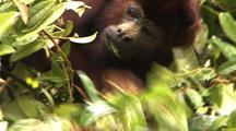 Cu Red Howler Monkey Eating Leaves In Tree