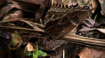 Mcu Topshot Of Satyrine Butterfly Resting On Forest Debris
