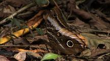 Ms Owl Butterfly (Caligo Eurilochus ) Resting On Debris, Z/I Mcu, Camoflauged