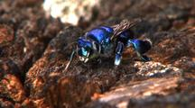 Mcu Tra Solitary Metallic Blue Bee Repeatedly Flies Off And Onto Log, Feeding, Z/I Clear View Of Head And Body, Exits Frame