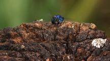 Mws Tra Solitary Metallic Blue Bee Hovering Over Log, Landing, Feeding