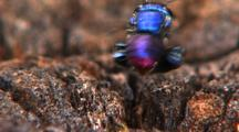 Mcu From Rear Of Solitary Metallic Blue Bee Feeding, Hovers, Spins Around, Exits Frame, Lands, Z/I Cu