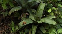 Ws Yellow-Banded Poison Dart Frog Jumps On Bromeliad Plant, Z/I Ms, Resting