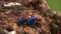 Metallic Blue Orchid Bees On Tree Stump, Foraging And Hovering