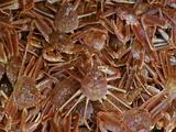 Ms Red King Crabs Fill Frame, Moving
