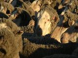 Mcu Sheep Crowded Together, Jostling