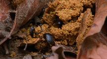 Dung Beetles Collecting Orang-Utan Dung