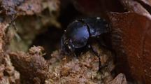 Dung Beetle Creating Dung Ball